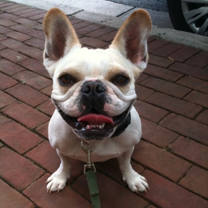 French Bulldog - Bailey
