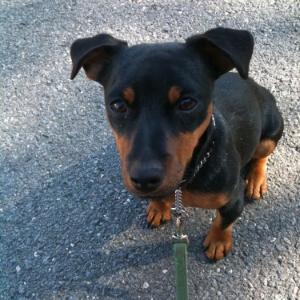 Hunt Terrier - Oswald