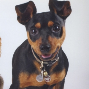 Miniature Pinscher - Hula