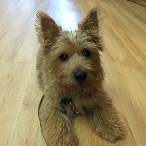 Norwich Terrier - Taigh
