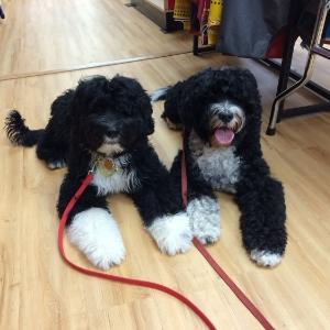 Portuguese Water Dogs - Malbec & Claire