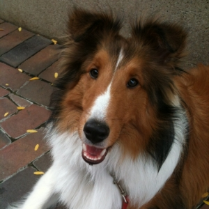 Sheltie - MacKinzie
