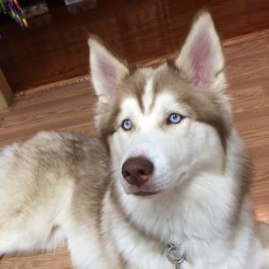 Siberian Husky - Lucas