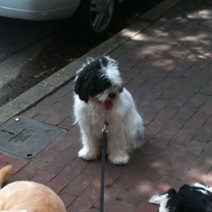 Tibetan Terrier - Cooper