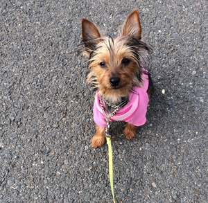 Yorkshire Terrier - Bella
