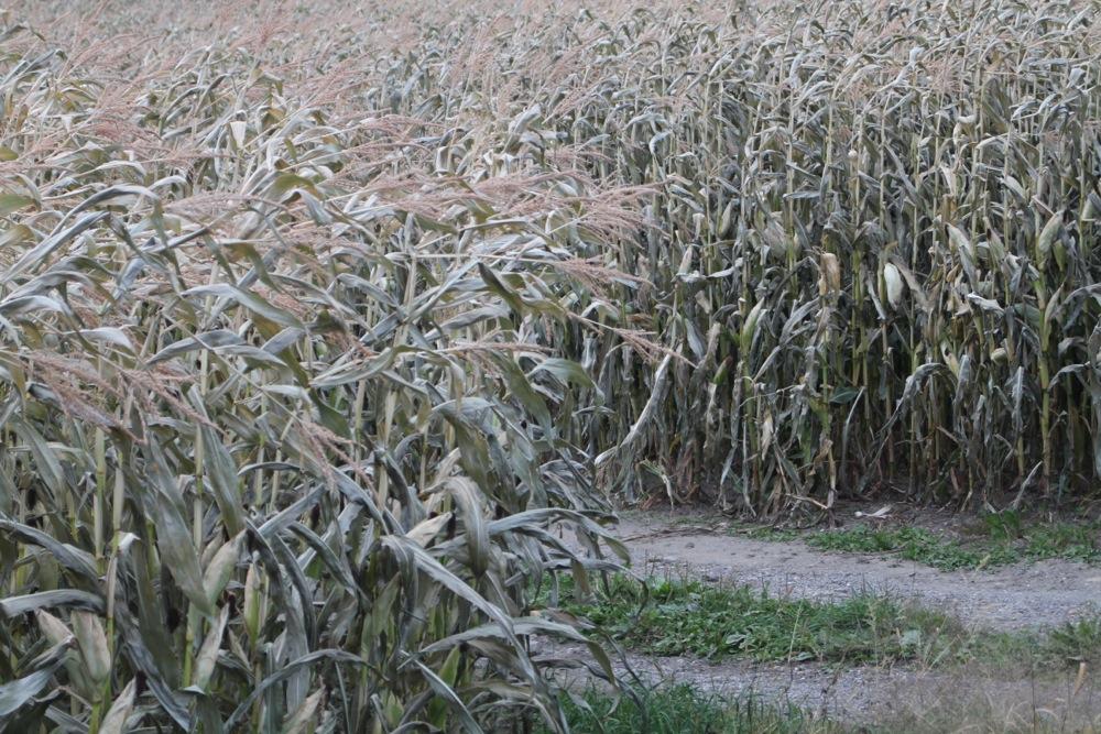 compton_corn.jpg