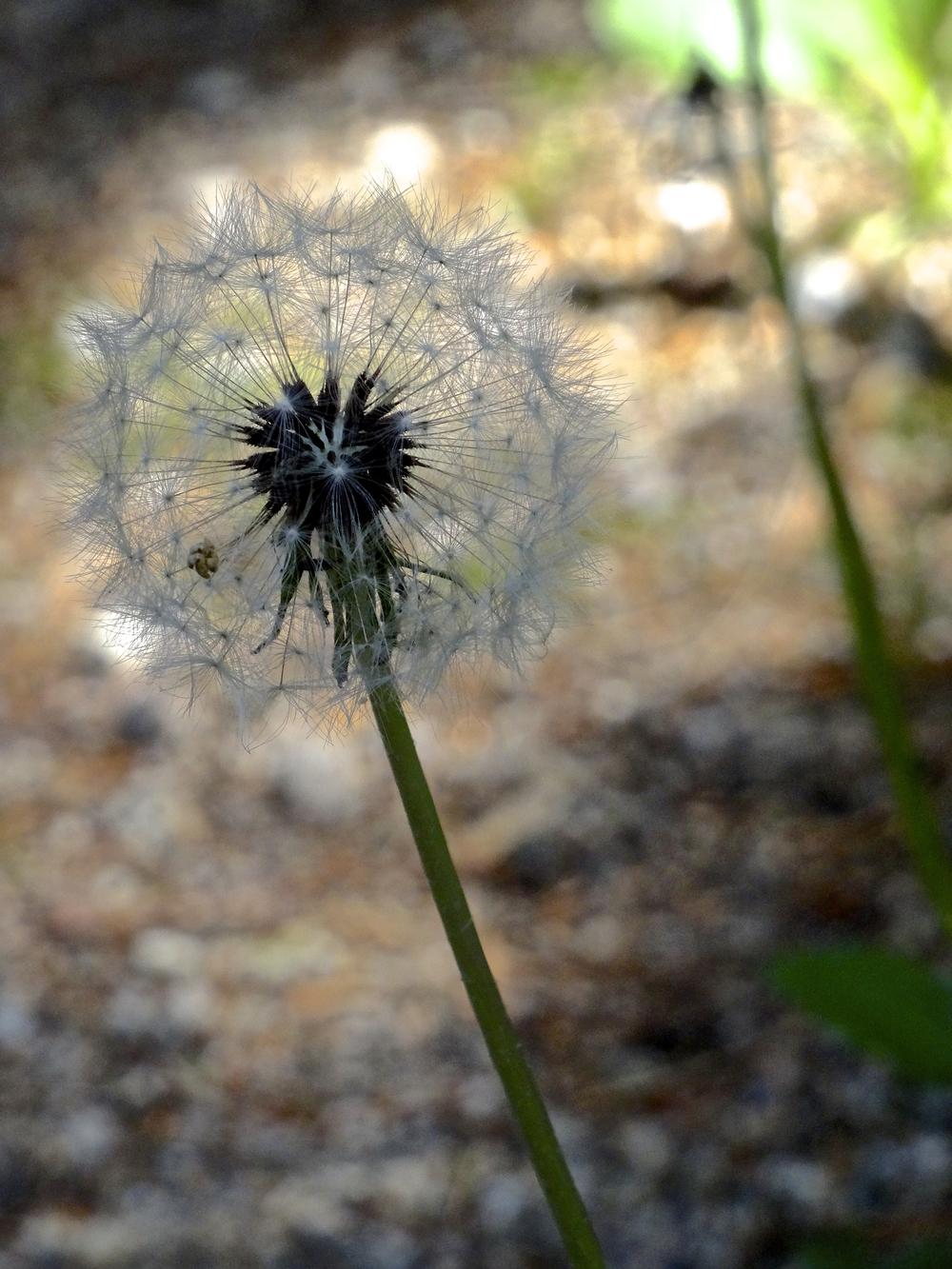 dandelion-scully.jpg