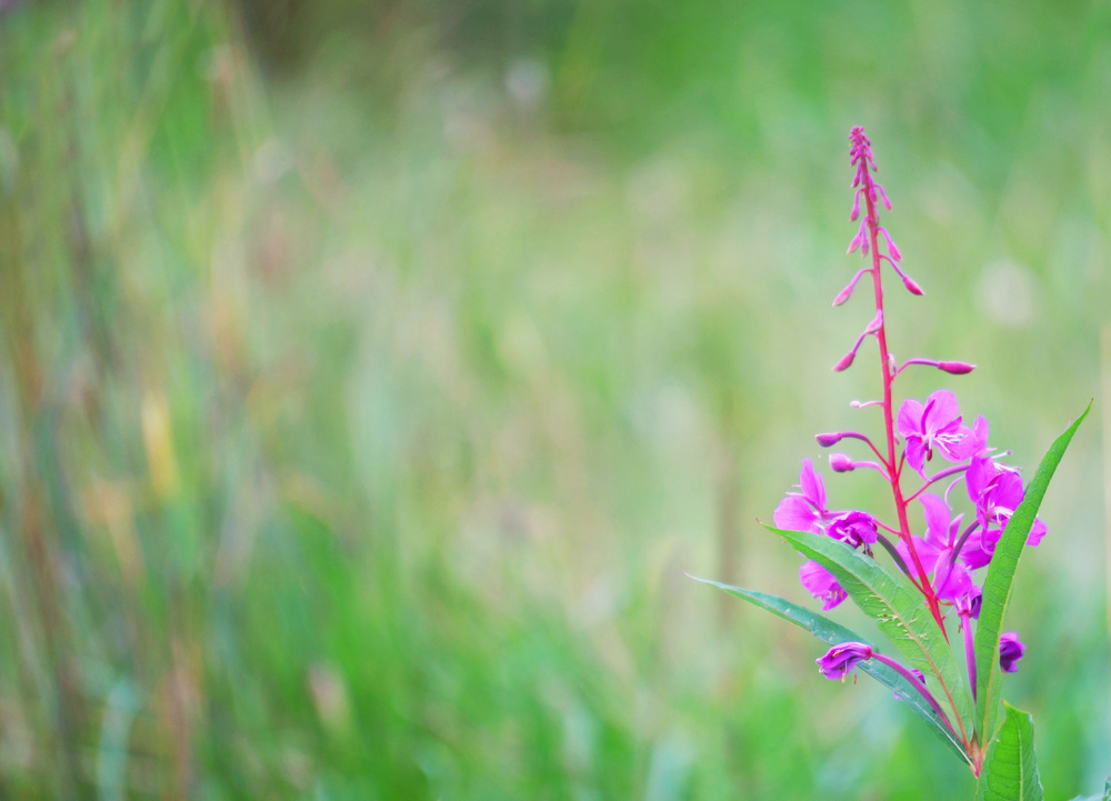 Fireweed Thank You Cards, printed as a greeting card.