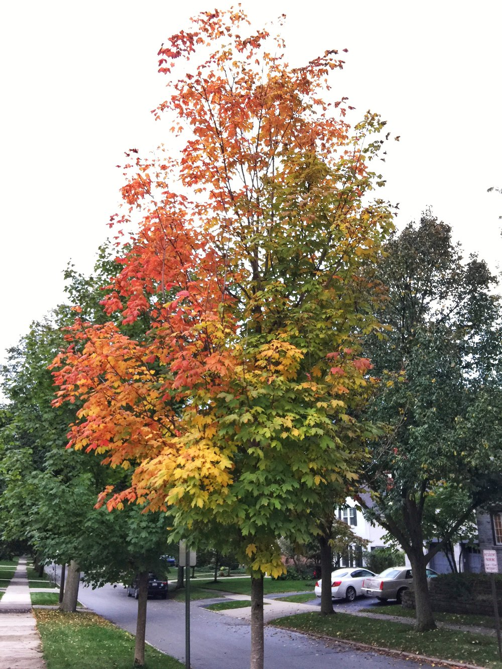 Snapped this picture on our walk last night, the leaves are just starting to change.  I've never seen a tree that captures all colors.