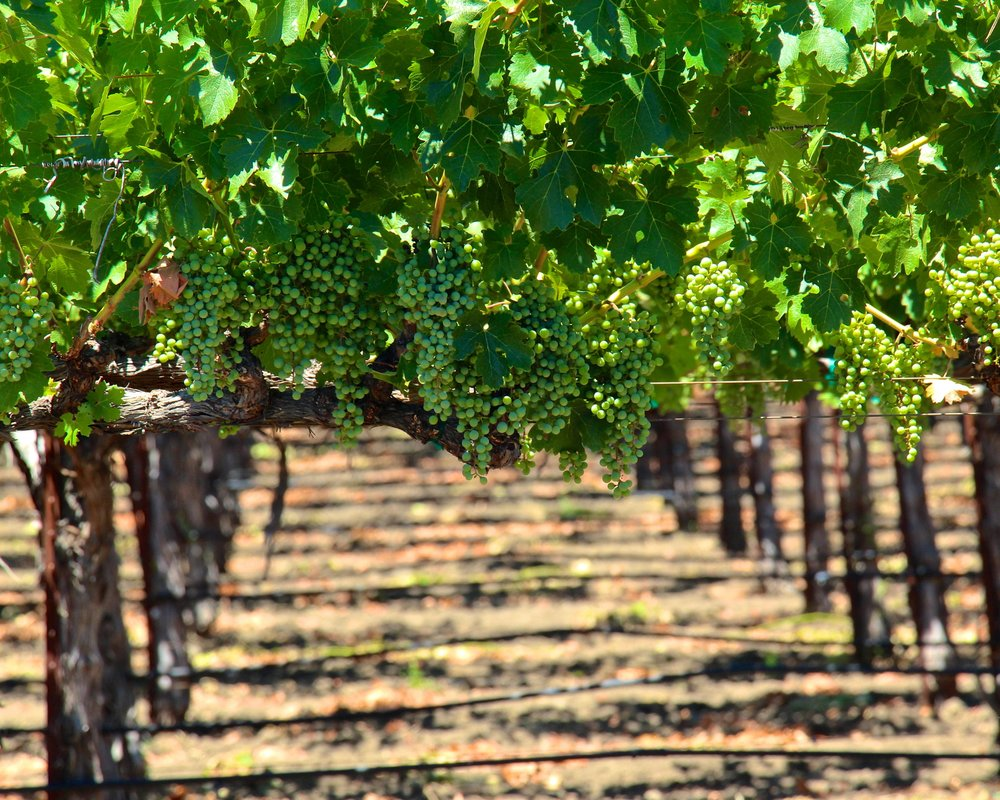 Closeup of green wine grapes growing on a row of vines