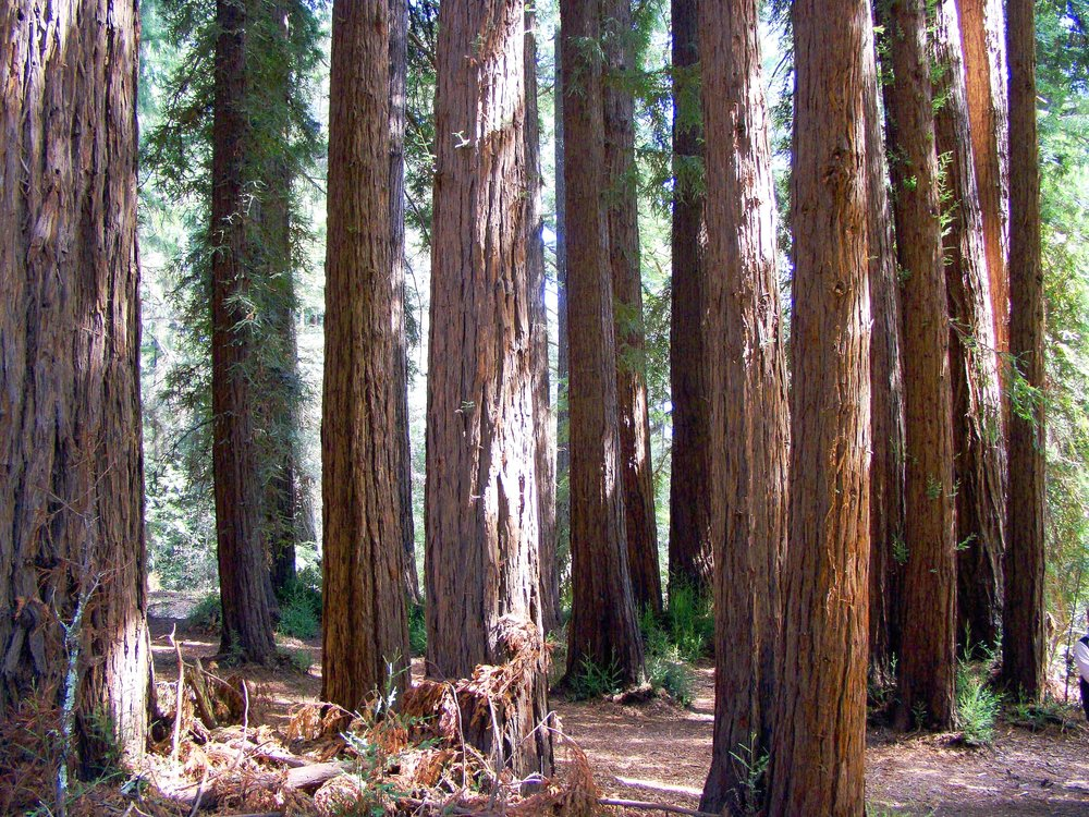 A grove of redwood trees
