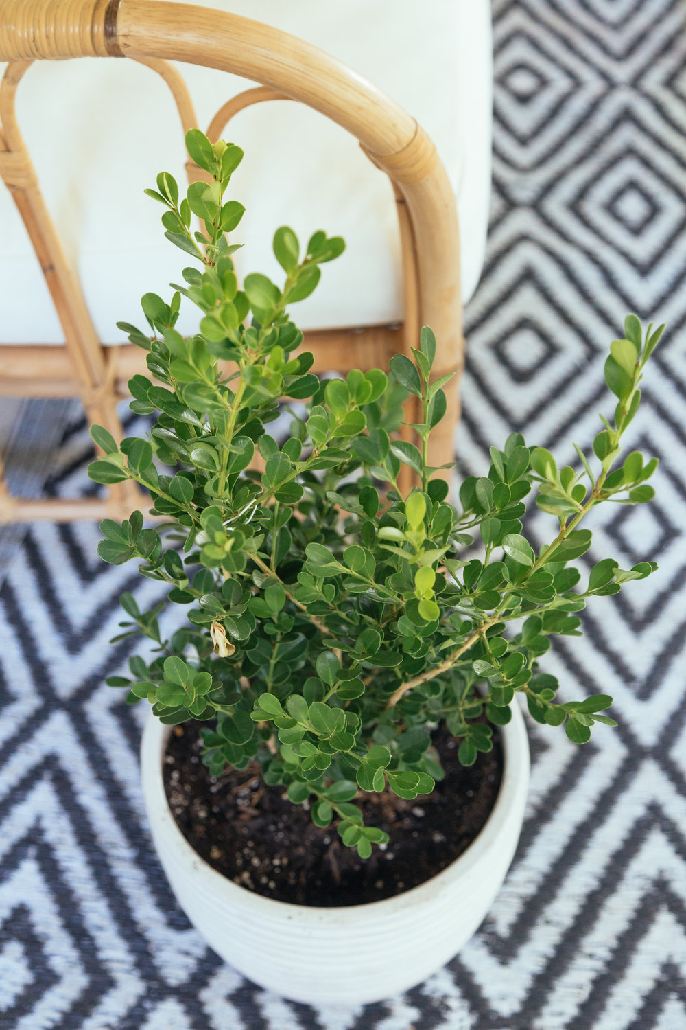 Recently bought this beautiful  Boxwood  from Lowes, but you can also buy it on  Amazon .