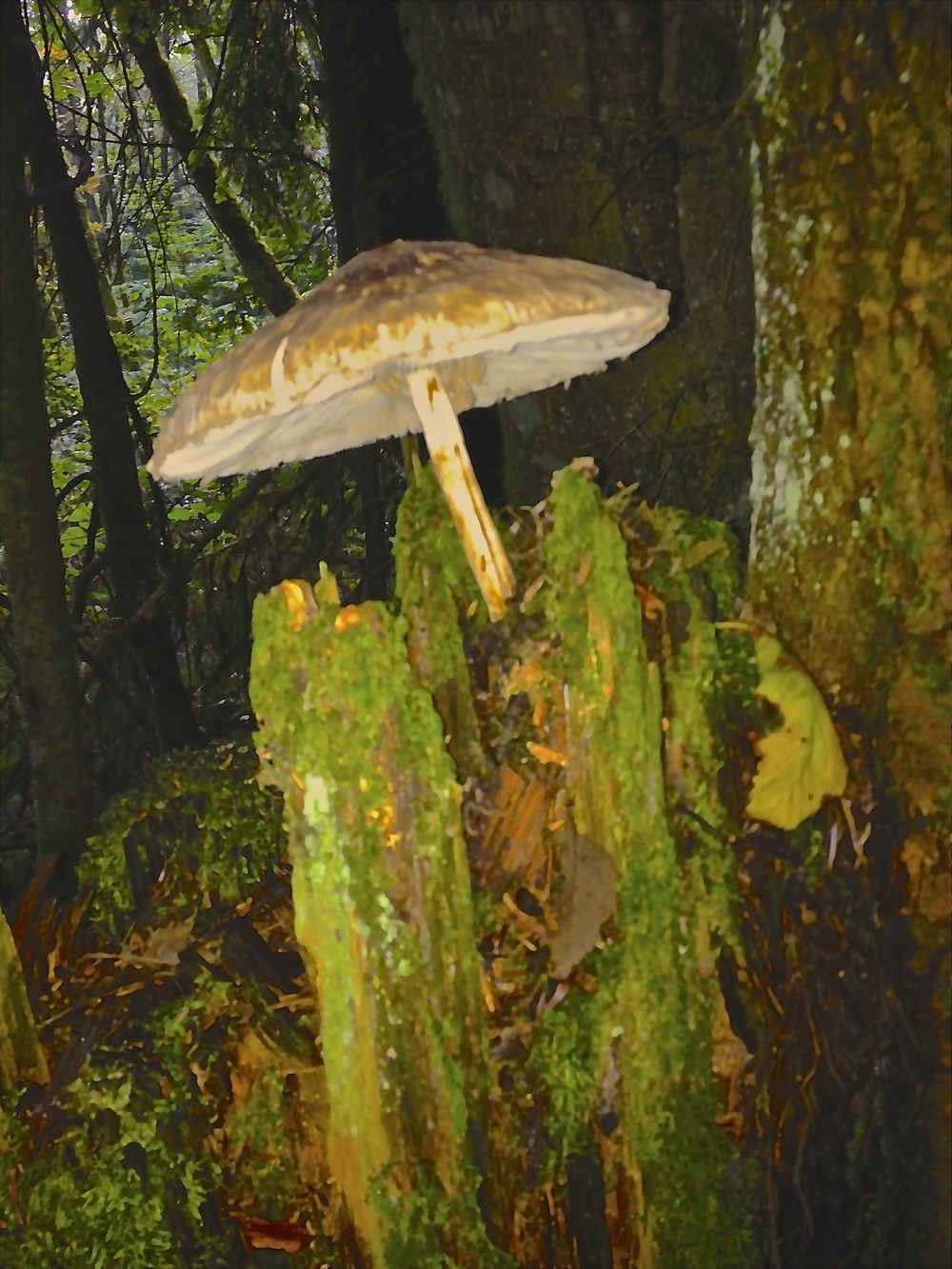 I find my friends,The Pixies,here in jaggedy rotted out trees under the canopy of mushroom umbrellas.