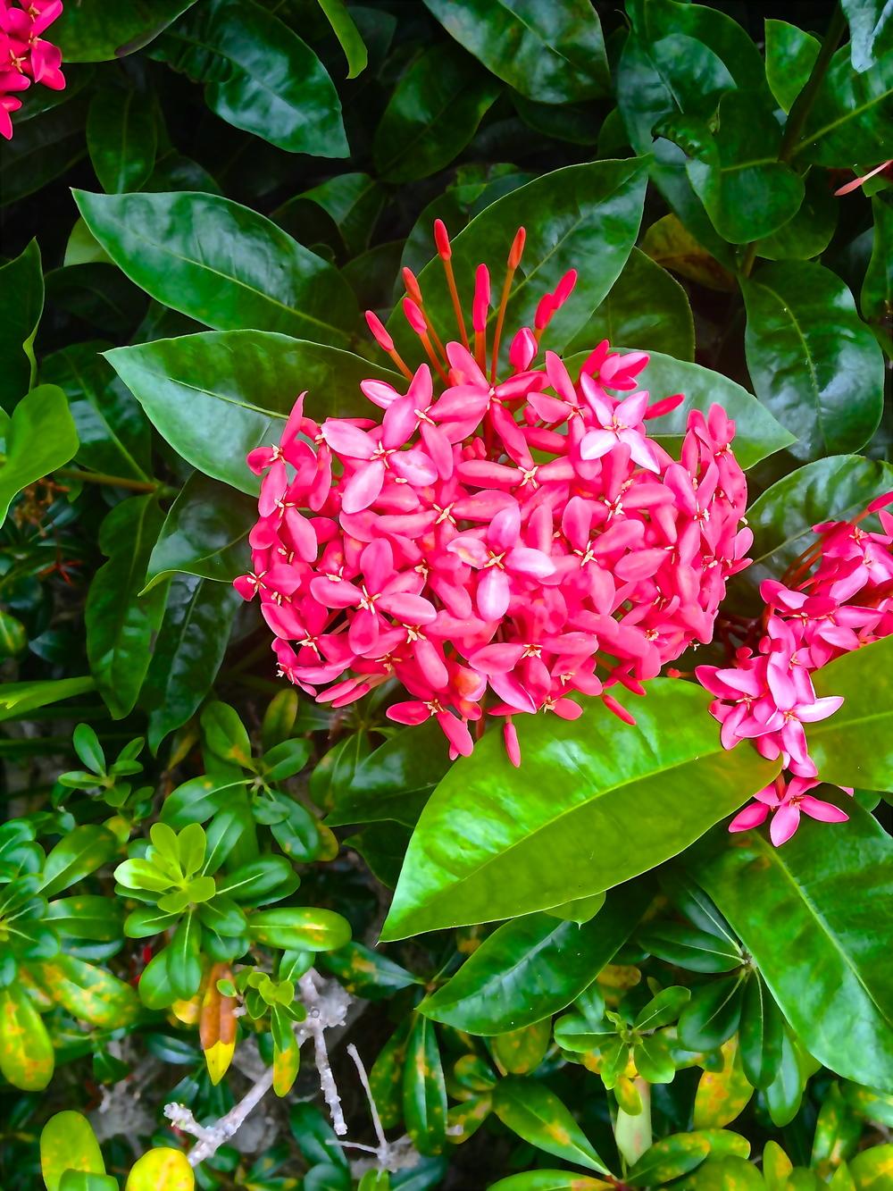 Native Blooms of The Tropics.Ohau, Maui, 2014.