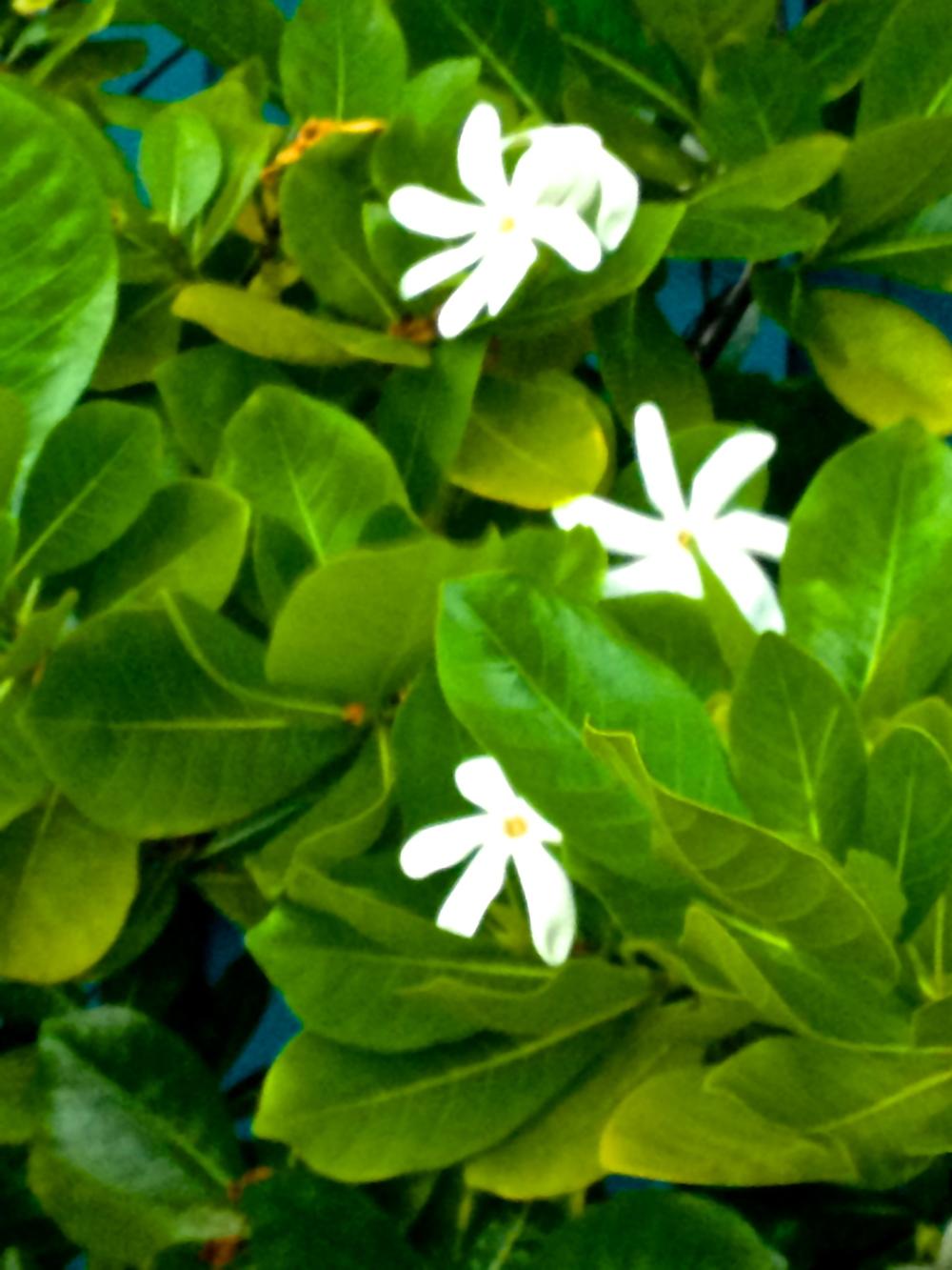 Gardenia~Our wedding flower