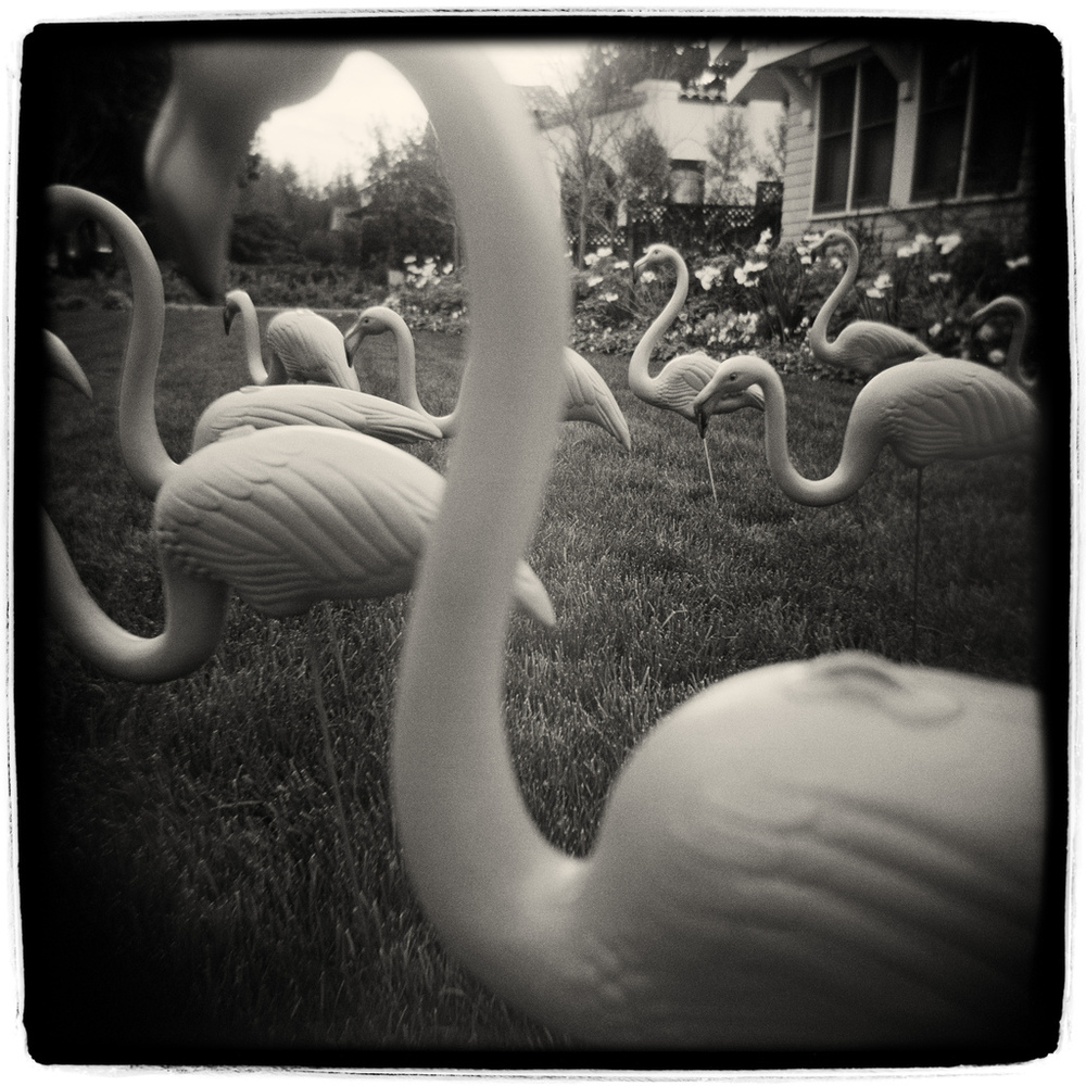 Flamingos -- by Robert Holmgren