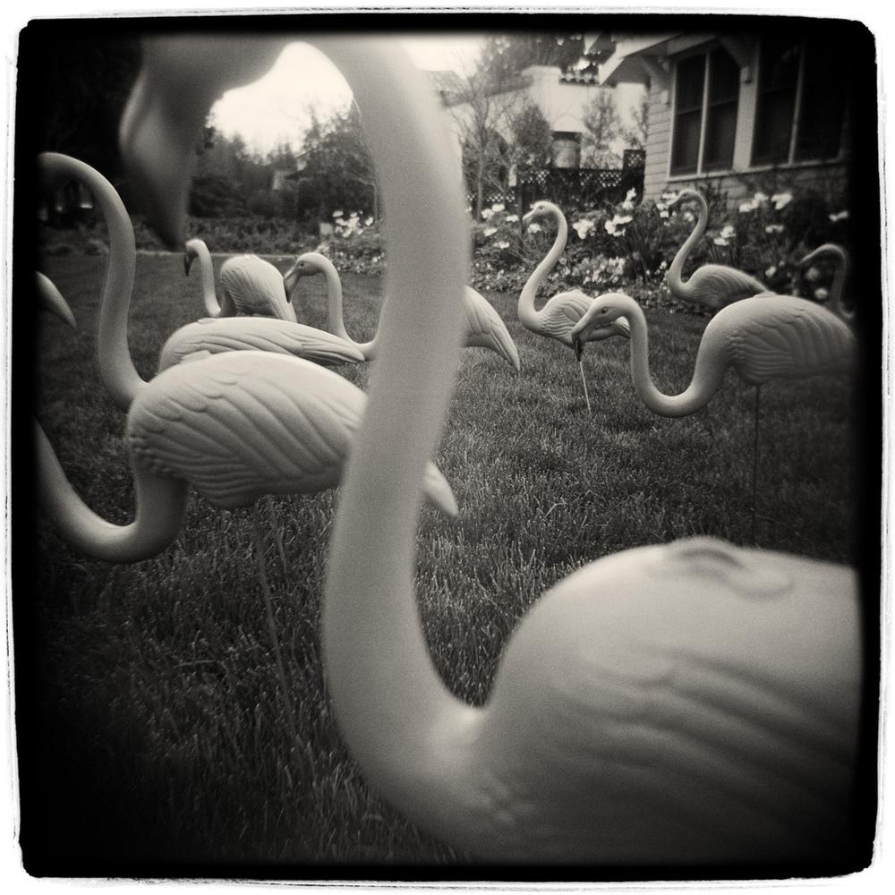 Flamingos -- by Robert Holmgren