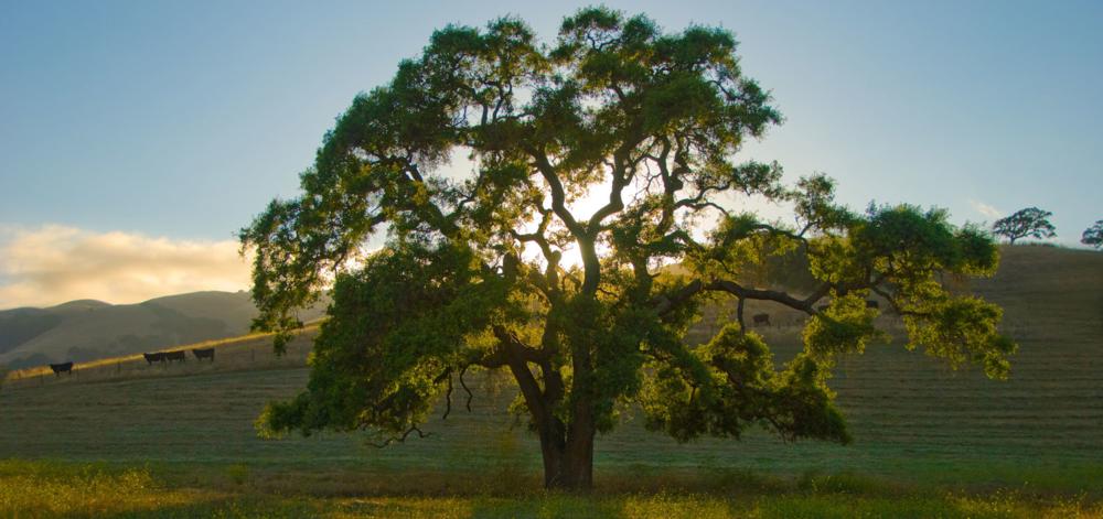 oak-max.jpg