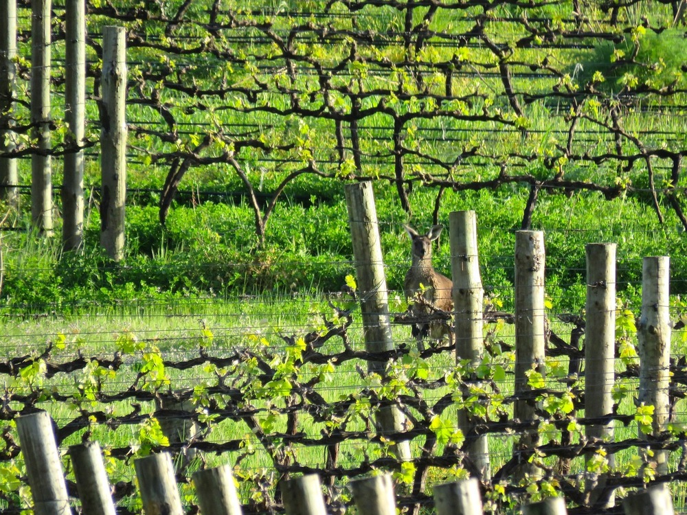 Kangaroo at Inkwell vineyards