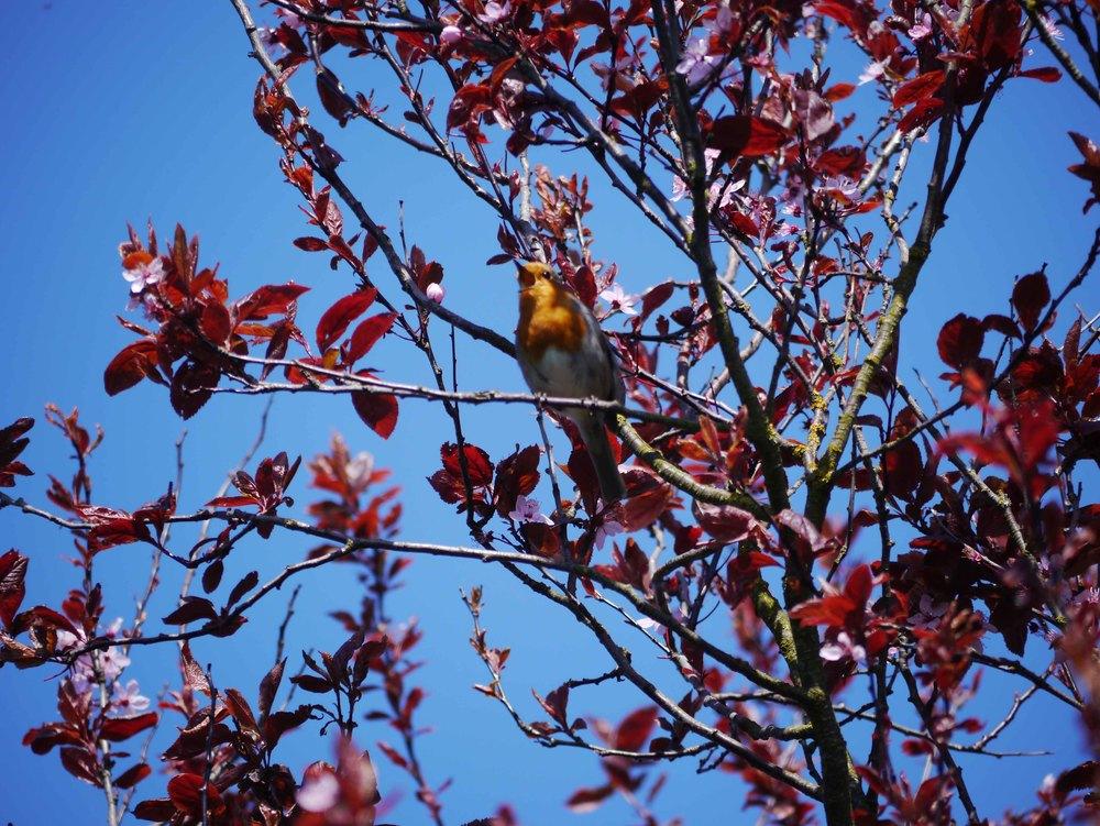 singing robin.jpg