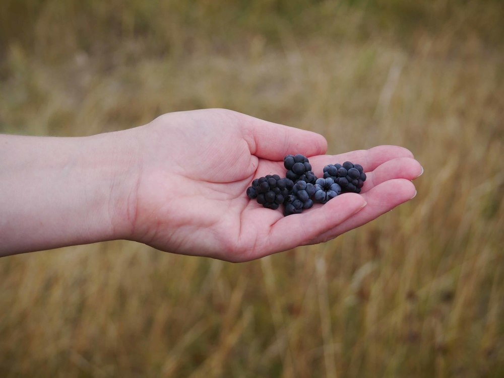Bilberry picking at Theddlethorpe Nature Reserve