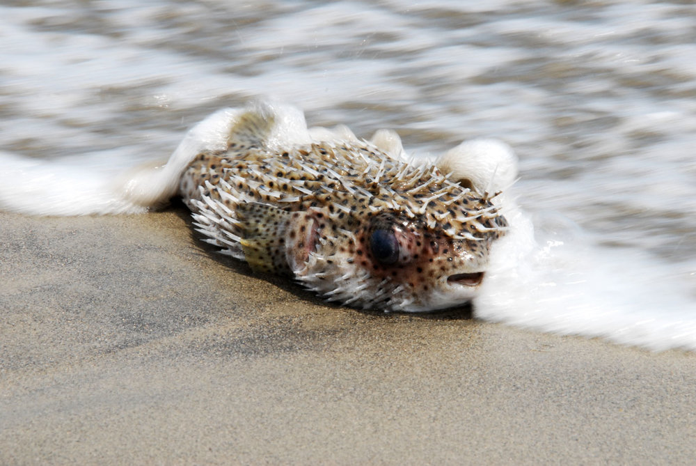 PufferFish_web2016.jpg