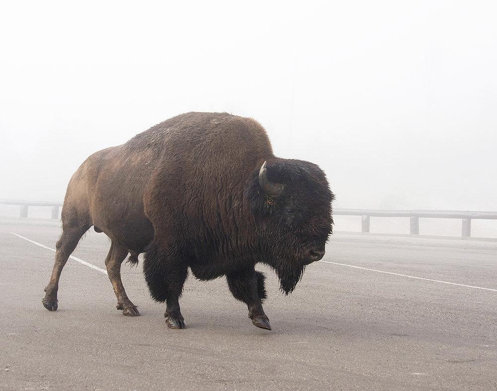Bison_fog_web2019.jpg
