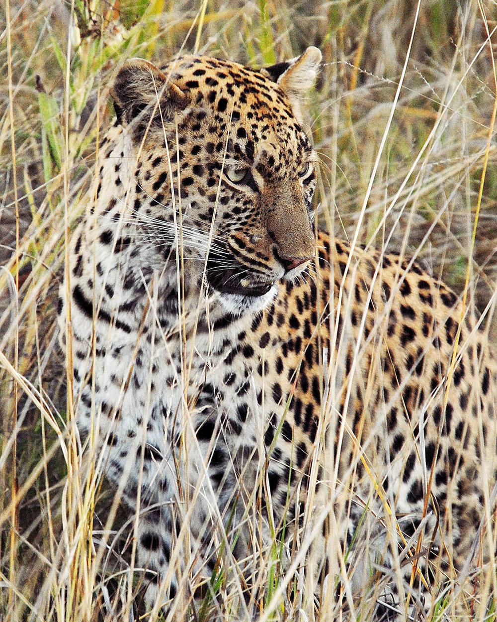 Leopard_MouthOpen_web2019.jpg