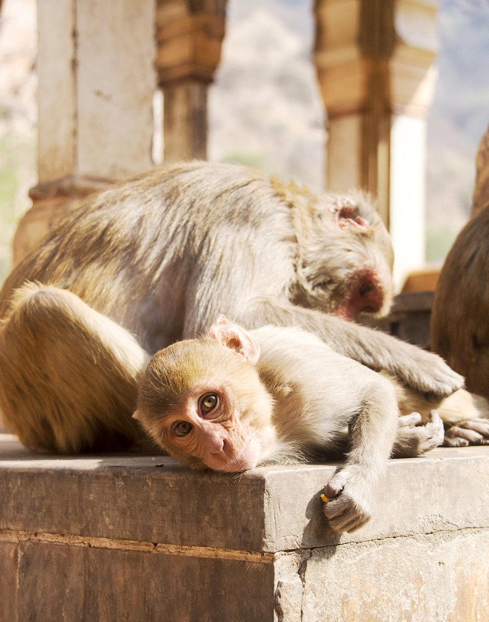 Monkey_Temple_grooming_web2019.jpg