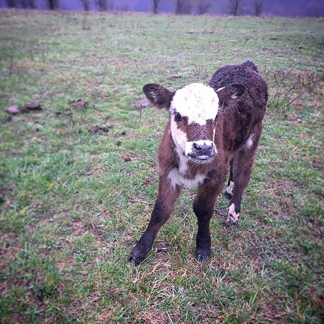 New fields await, friends. 🎶 #cow #farm #farmlife #countrymusic #americana