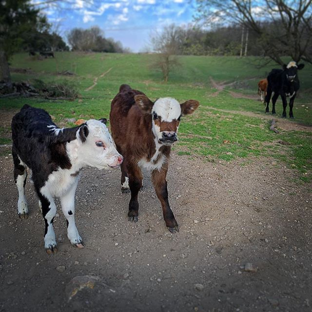 Man, I love spring. Hope everyone has their weekend playlists ready to go! Look me up on Spotify to see some of my favorites 🎶 #calf #cow #farm #farmlife #ozarks #missouri