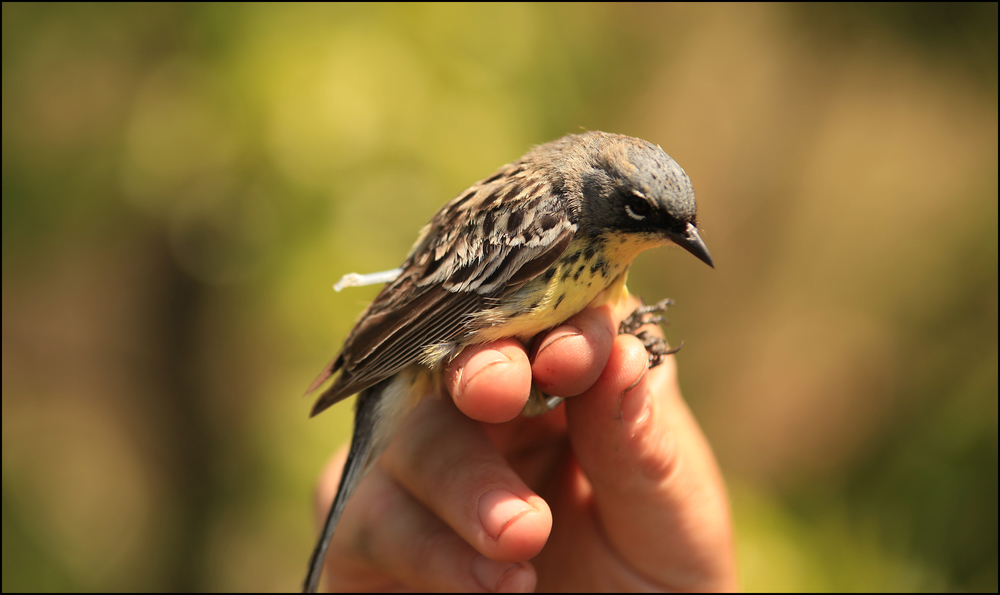 Adult male Kirtland's Warbler with light-level geolocator. The light-sensing stalk is seen extending off of the device that is attached to his back via a leg harness.