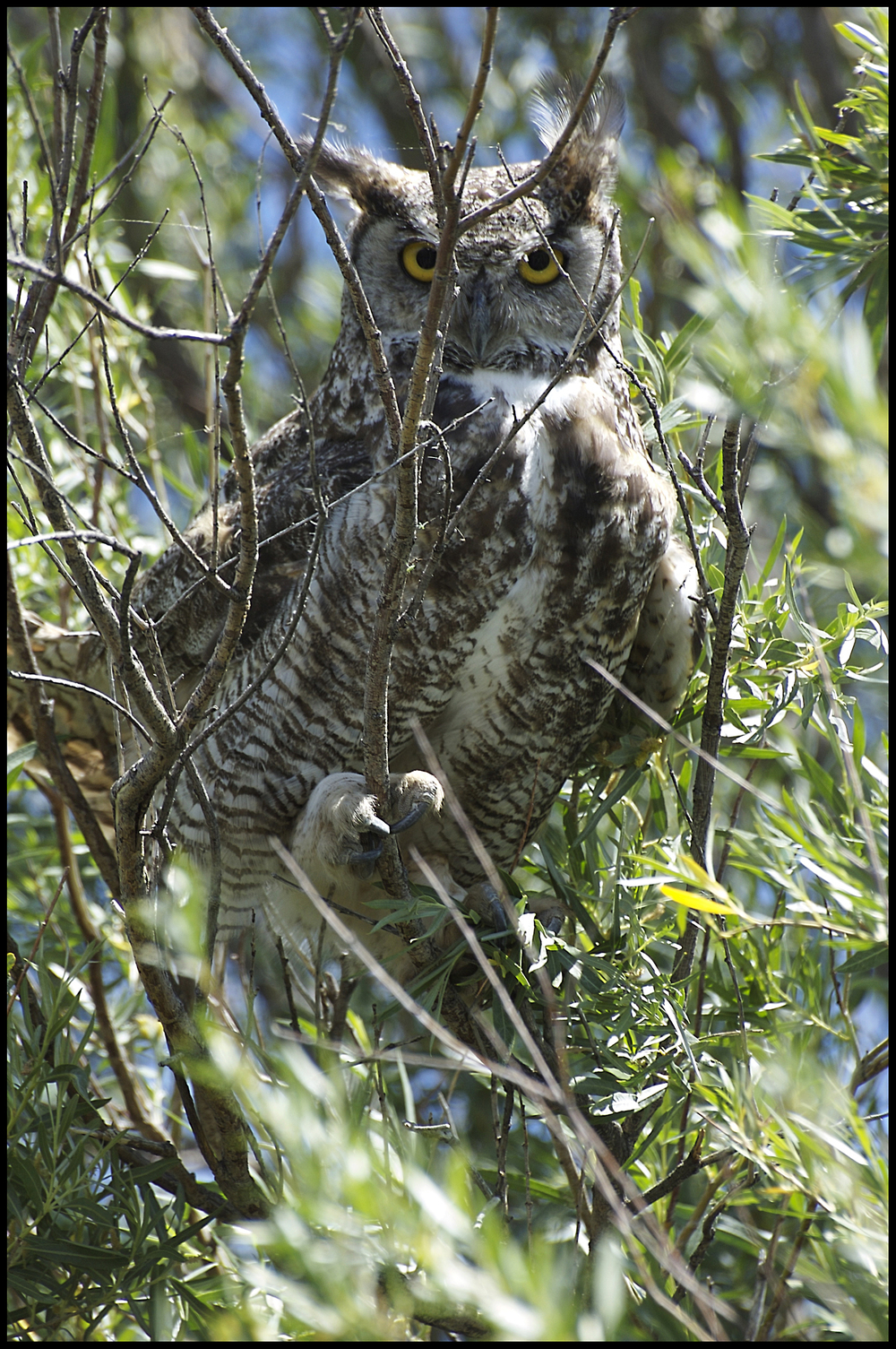 Great Horned Owl, Malheur National Wildlife Refuge, OR