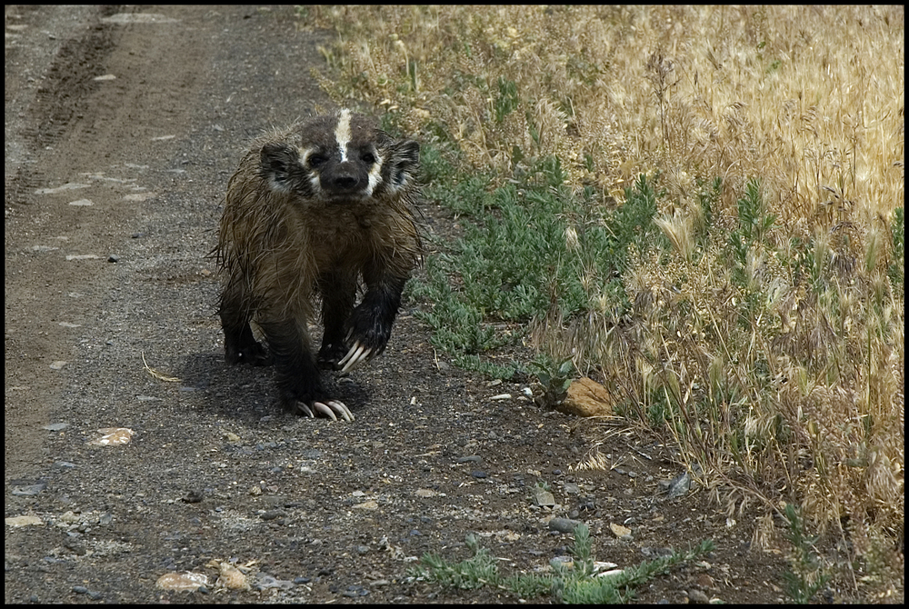 Badger, Malheur National Wildlife Refuge, OR