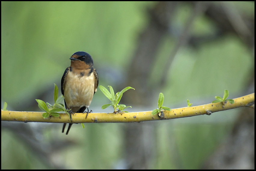 Barn Swallow, Malheur National Wildlife Refuge, OR