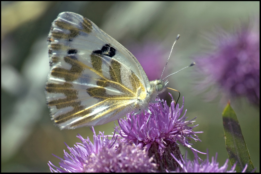Butterfly, Malheur National Wildlife Refuge, OR