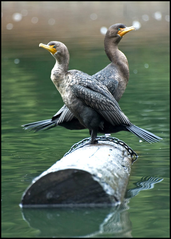 Double-crested Cormorant, Portland, OR