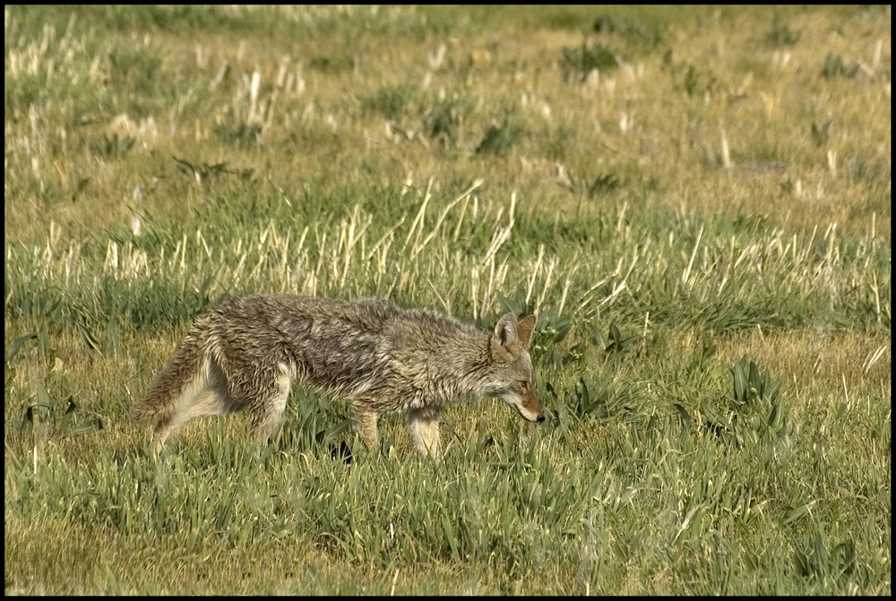 Coyote, Malheur National Wildlife Refuge, OR