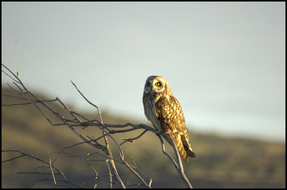 Short-eared Howl, Malheur National Wildlife Refuge, OR