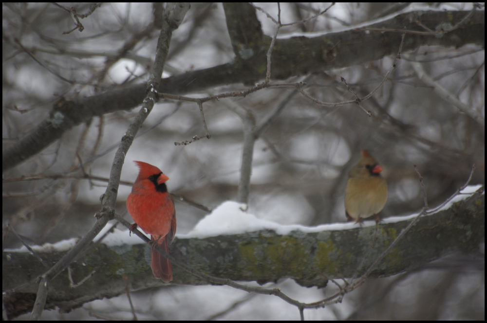 Northern Cardinal pair, Lathrup Village, MI