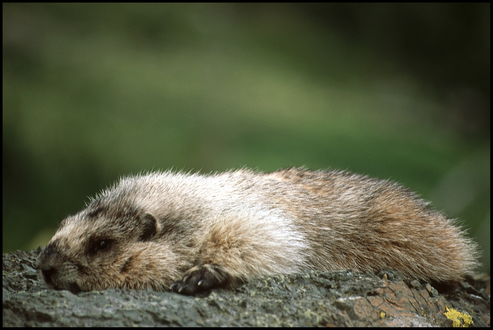 Marmot, Glacier National Park, MT