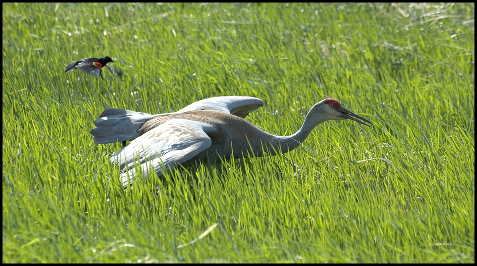 Sandhill Crane being attacked by Red-winged Blackbird, Malheur National Wildlife Refuge, OR
