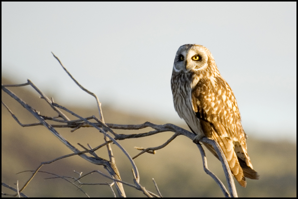 Short-eared Owl, Malheur National Wildlife Refuge, OR
