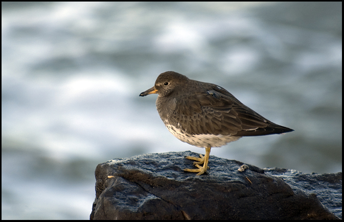Surfbird, OR