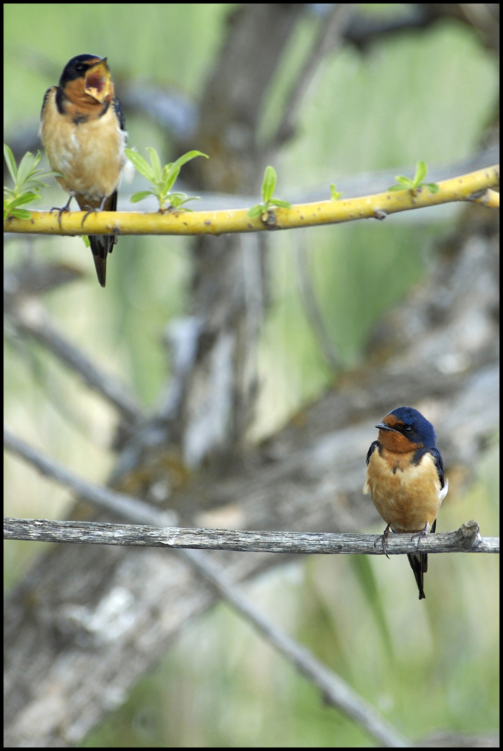 Barn Swallows, Malheur National Wildlife Refuge, OR