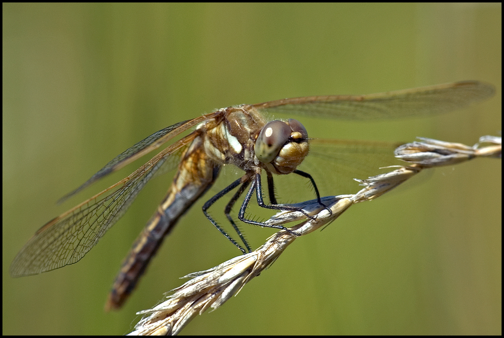 Variegated Meadowhawk, Malheur National Wildlife Refuge, OR