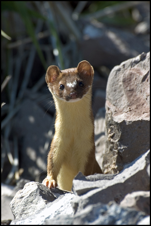 Long-tailed Weasel, Malheur National Wildlife Refuge, OR