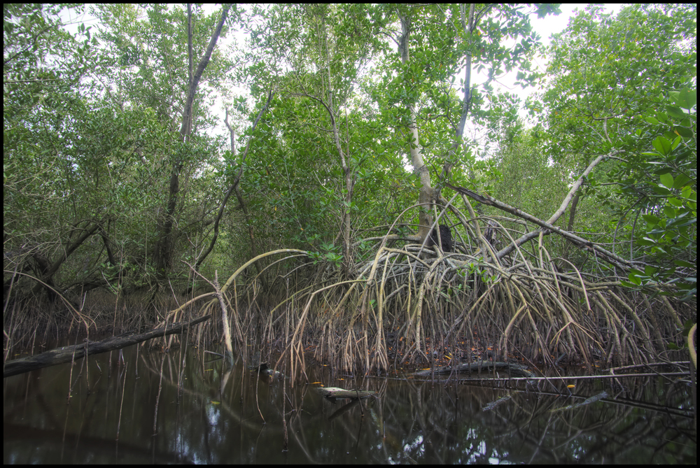 Red Mangrove, Font Hill Nature Preserve, Jamaica