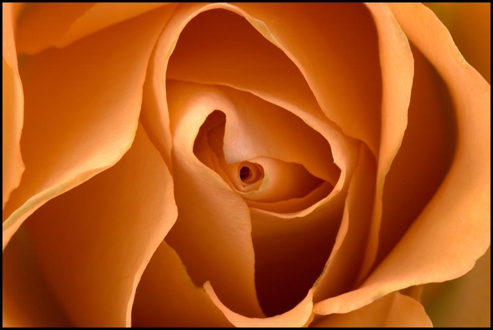 OrangeRose.jpg