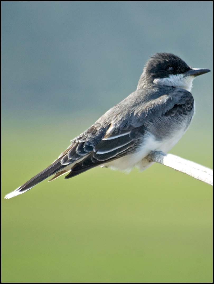 Kingbird Ecology